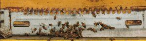 Foto di api su soglia ocra che si godono il primo timido sole di gennaio