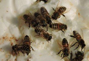 Foto di api mentre si cibano di candito solido