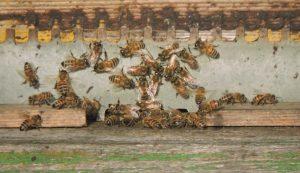 Foto di api su soglia verde che si godono il primo, timido sole di gennaio