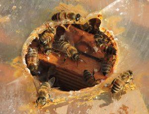 Foto di api viste dal foro di nutrizione