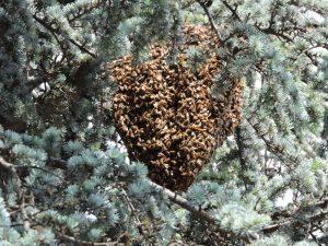 Foto di sciame di api da miele