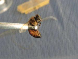 apipuntura con ape viva - terapia con veleno d'ape