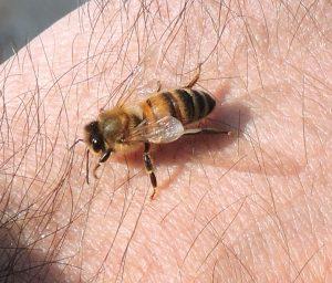 Foto di ape su zampa Orsomiele