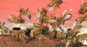 Foto di api su soglia rossa in attivita' nel mese di gennaio
