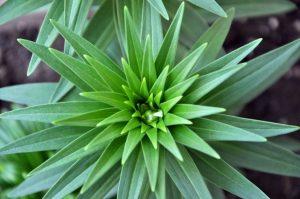Esempio di sequenza di Fibonacci in botanica