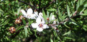 Foto del fiore di Manuka (Leptospermum scoparium) da cui le api producono il miele manuka