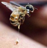 Apipuntura con veleno d'api